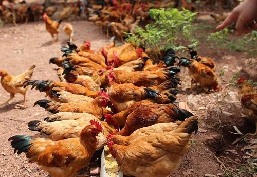 chăn nuôi gà